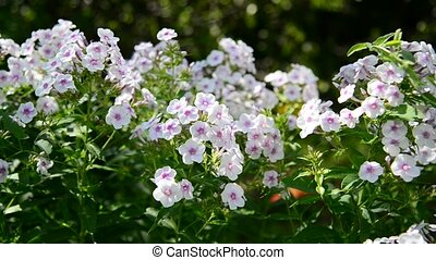 Many beautiful white phlox outside - Many beautiful white...