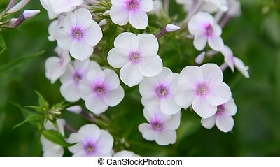large inflorescences of white varietal phlox - large...