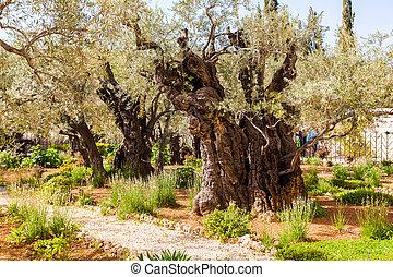 Garden of Gethsemane, Jerusalem, Israel. The gnarled olive...