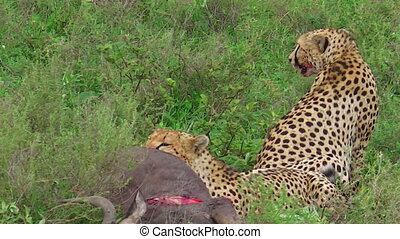 Cheetahs eating pray - two young brother cheetahs feeding on...