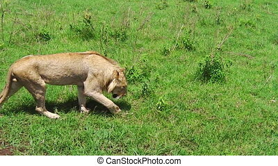 a lion walking - female lion walking and looking for prey on...