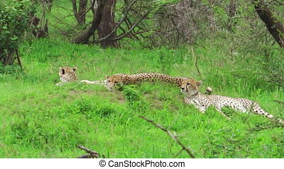 Cheetahs resting on grass - Two young cheetahs with their...