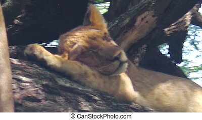 baby lion sleeping on a tree of the Serengeti National Park,...