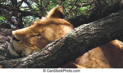 female lion sleeping