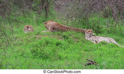 Cheetahs with mother - Two young cheetahs with their mother...