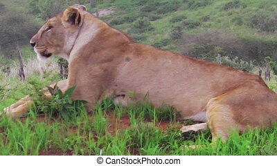 female lion sitting - One sitting female lion laying on the...