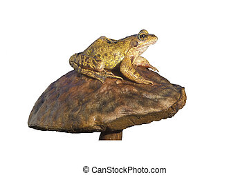 Common frog, Rana temporaria, single reptile on toadstool