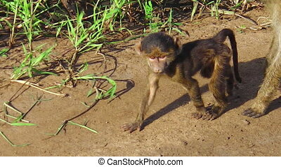 baby baboon walking with its mother in the savannah of the...
