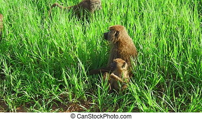 Mother and child baboons on a the grass plain savannah of...