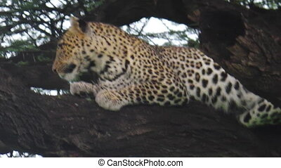 one Leopard on tree - Africa leopard resting on a tree in...