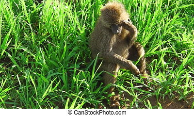 Baboons grass plain - Baboons family on a the grass plain...