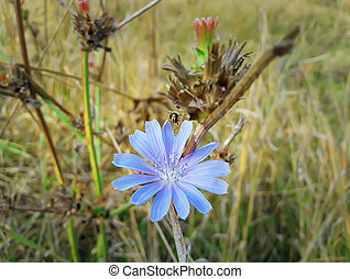 chicory - Close up of a blue chicory flower with a bee...
