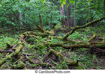 Deciduous stand of Bialowieza Forest in spring - Deciduous...
