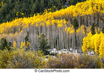 Fall Color and Snow in Colorado - Grove of yellow Aspen...