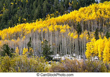 Fall Color and Snow in Colorado - Large grove of yellow...