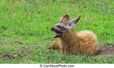 bat-eared. fox Tanzania - Red ,bat-eared fox or Otocyon...