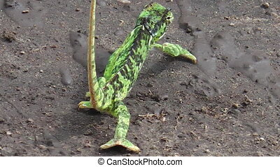 African green chameleon walking on a dirty road of the...
