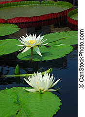 Water lily closeup in water with lovely color and green...