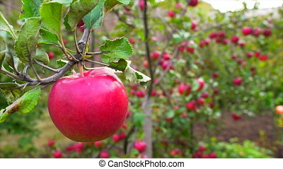 Red apple on branches in th garden