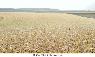 A ripe corn fields in 4K