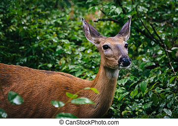A deer seen along the Limberlost Trail, in Shenandoah National Park, Virginia.