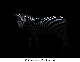 zebra in the dark - zebra standing in the dark