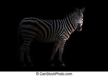 zebra in the dark - zebra standing in the dark