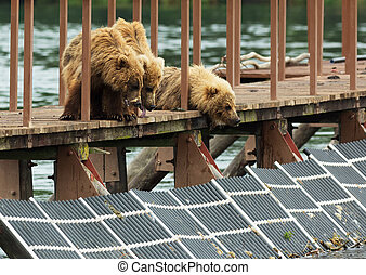 Three little brown bear cub on fence to account for fish....