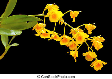 Dendrobium chrysotoxum - It will bloom about April every...