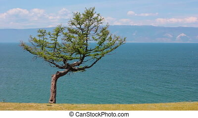 Baikal Lake. Olkhon Island. Tree with ribbons - Tree of...