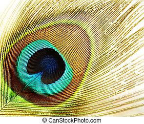 peacock feather - Macro of peacock feather isolated on white...