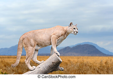 Puma stands on a tree at nature background
