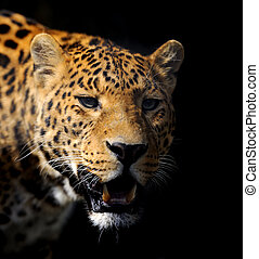 Leopard on dark background - Close angry partrait leopard on...