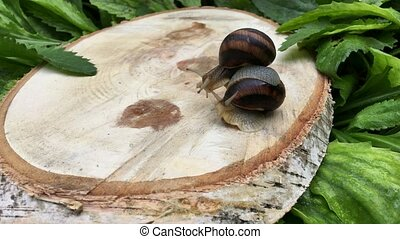 Two snails crawl on the stump of the tree, close-up