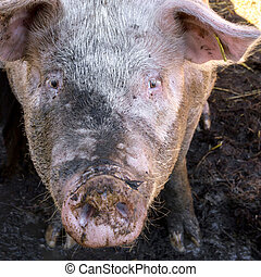 Muddy pig in a sty - Dirty pig in mud on the farm looking...