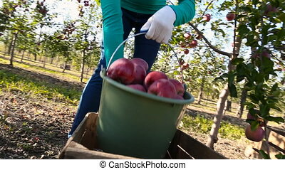 woman with a bucket of apples - woman pours a bucket of...