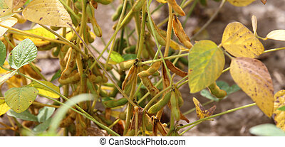 many soy beans grown in the field in summer - ripe soy beans...