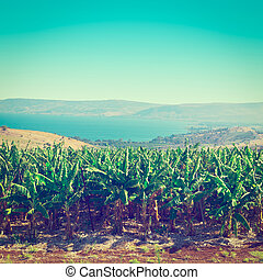 Banana Plantation on the Golan Heights, Instagram Effect