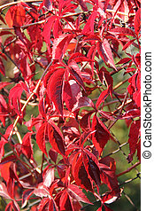 crimson woodbine - crimson leaves of woodbine growing on the...
