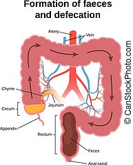 digestive process in humans - formation of faeces and...