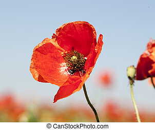 red wild poppies. A background of blooming plants.