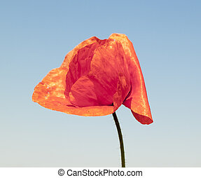 red wild poppy. A background of blooming plants.