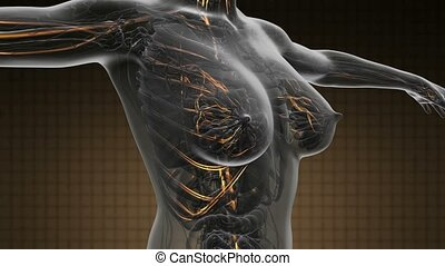 loop science anatomy scan of woman blood vessels glowing...