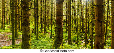 Sunlit spruce tree forest - Sunlit wet spruce tree forest,...
