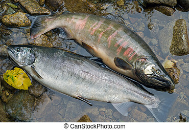 Two salmons 6 - A close up of the two salmons Oncorhynchus...