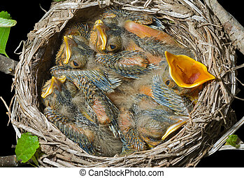 Nest of thrush 7 - A close up of the nest of thrush with...