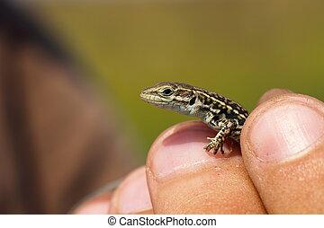 herpetologist holding balkan wall lizard - herpetologist...