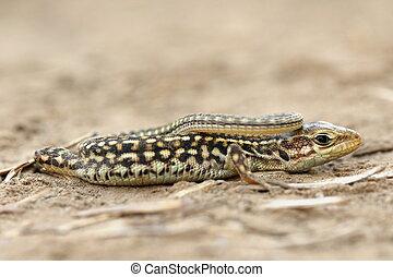 juvenile balkan wall lizard