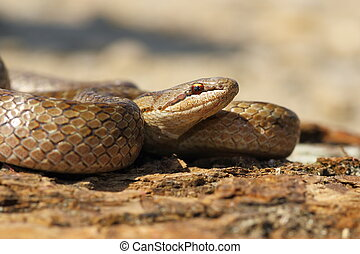 portrait of Coronella austriaca, the european smooth snake