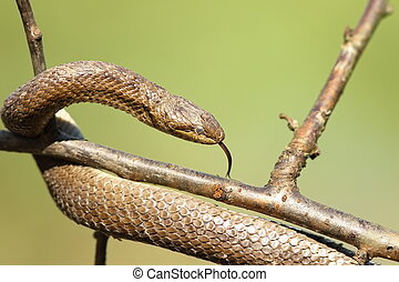 smooth snake closeup over green background - smooth snake...